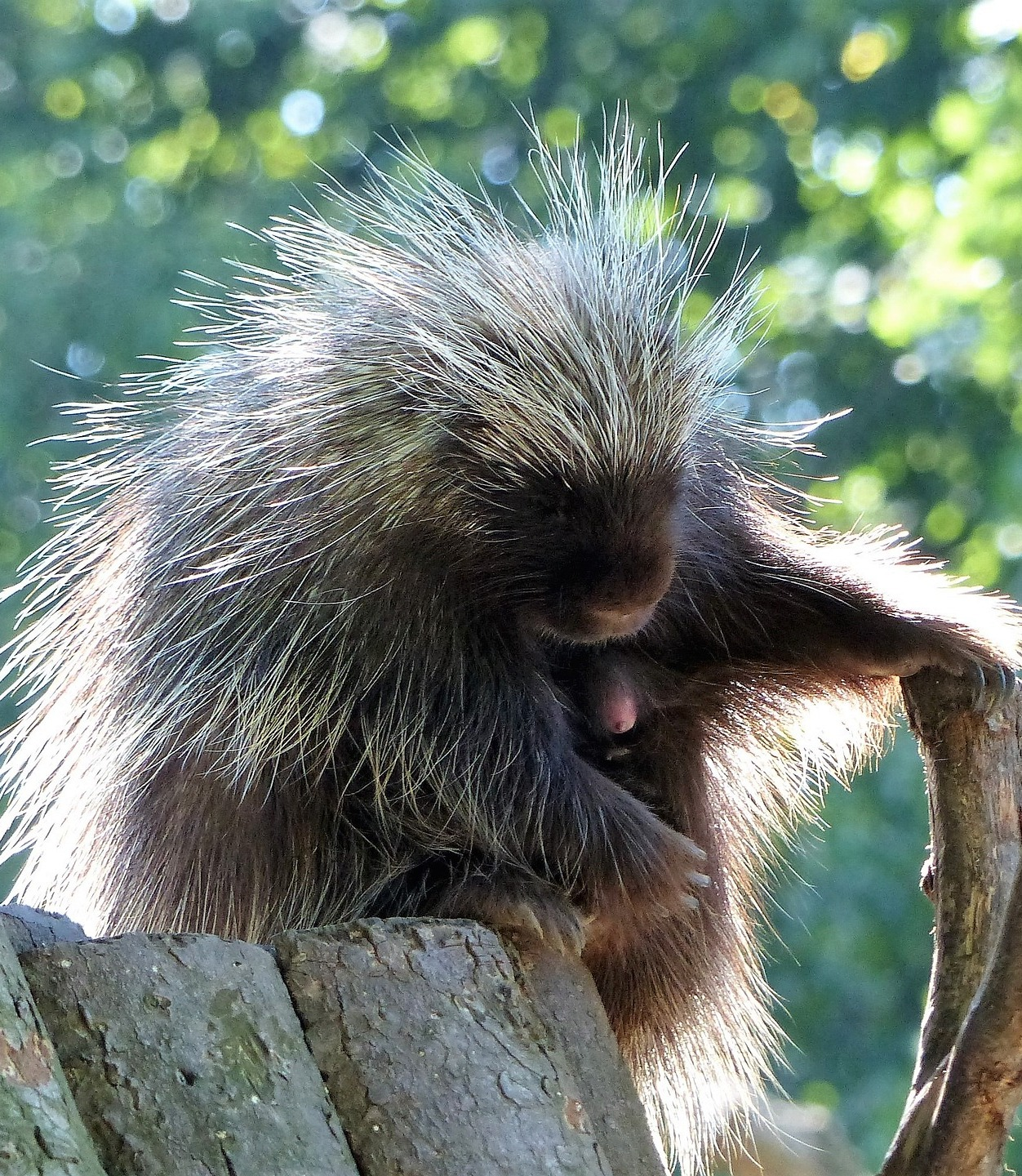Picture of a sleeping porcupine.
