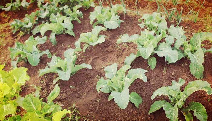 Cultivo de la coliflor