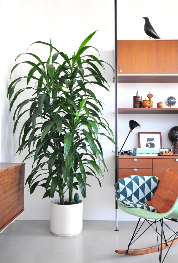 Tall indoor plant - photo#36