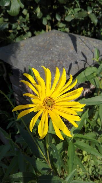 Gele bloem met veel blaadjes