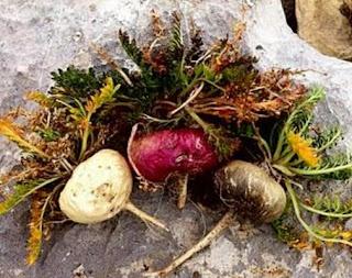 La Maca viene impiegata nella etnomedicina tradizionale andina per le proprietà nutrizionali, toniche, rivitalizzanti, rafforzanti la fertilità.