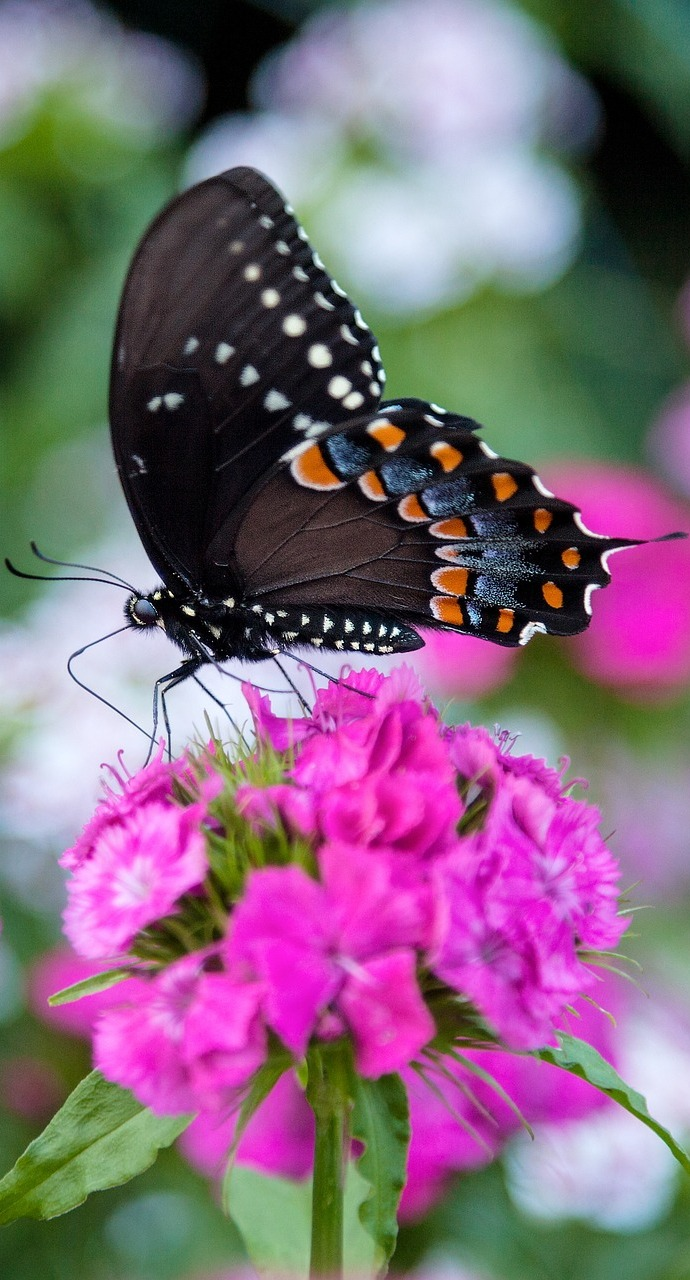 Picture of a black swallowtail butterfly.