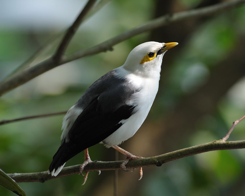Burung Jalak & Sejenisnya - Ryan Maigan Birds