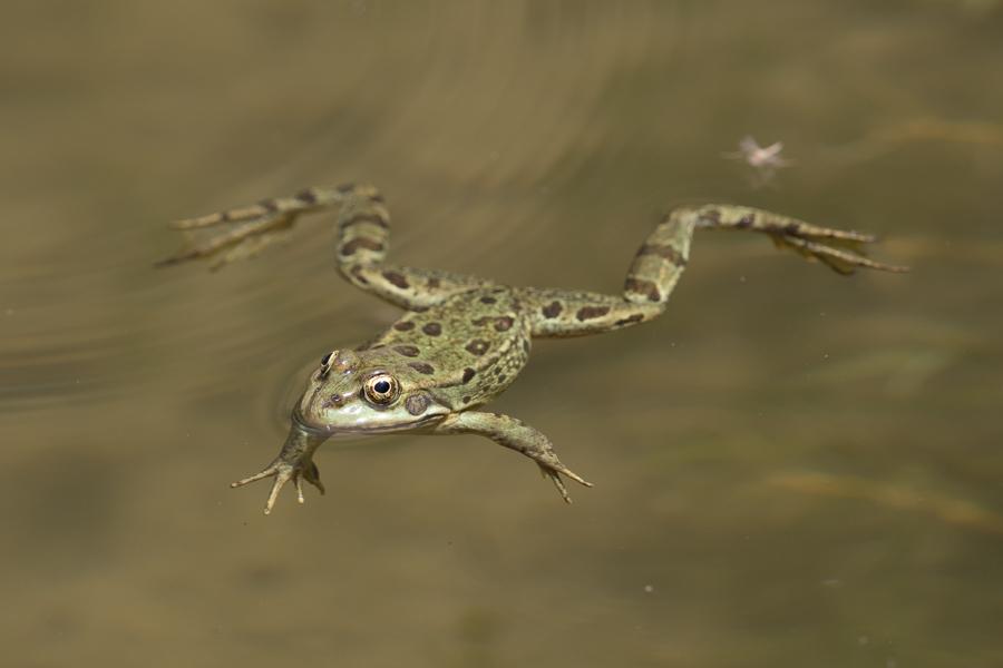 Arabian Skittering Frog