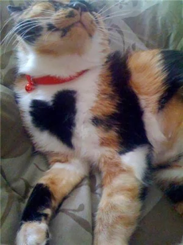 Funny cats - part 87 (40 pics + 10 gifs), cat with love shaped fur
