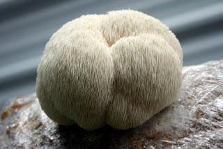 Pom - pom Mushroom