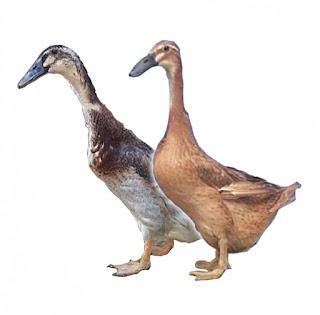 program vaksinasi untuk itik bebek pedaging dan petelur