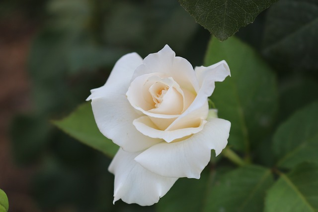 hình ảnh đẹp hoa hồng trắng