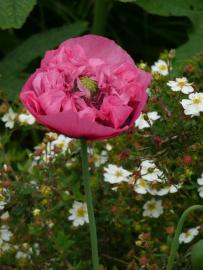 Flor de la adormidera