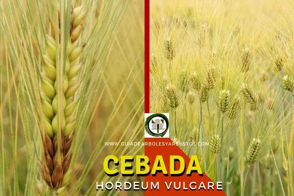 Cebada, Hordeum vulgare, Planta Comestible y Medicinal conocida como el Cereal de Invierno