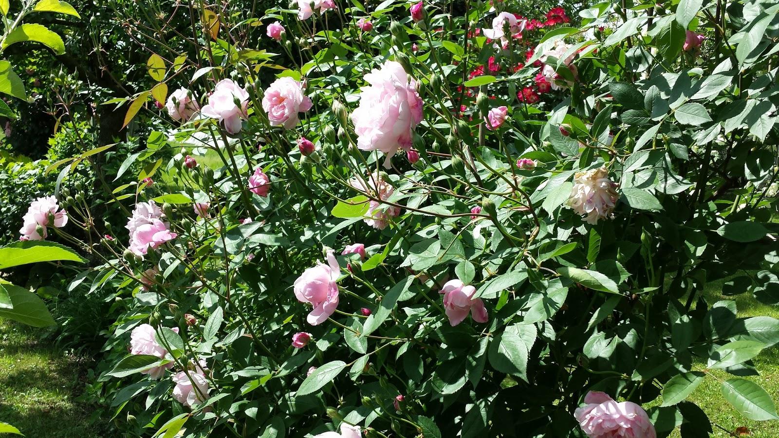 Era la mattina di natale rose e fiori del mio giardino for Peonie periodo