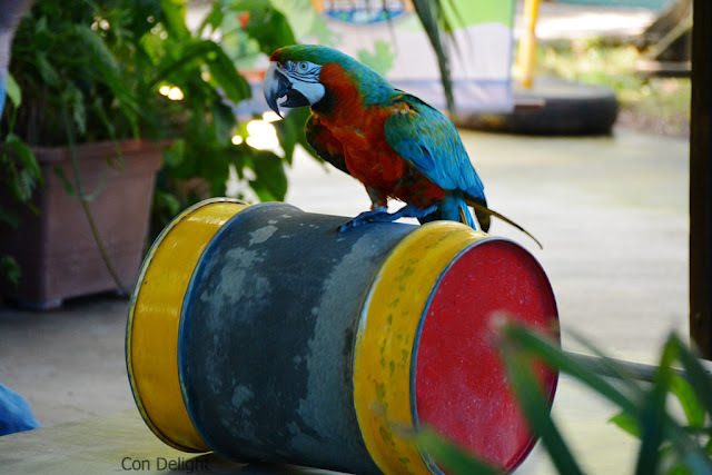 parrot rolling a barrel