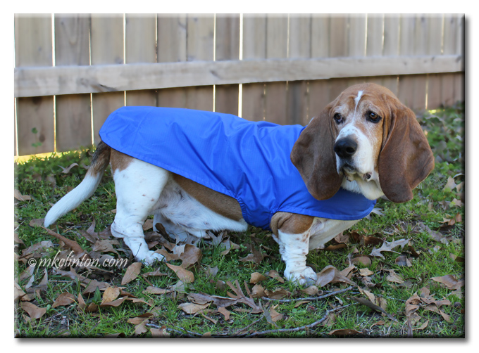 Basset Hound in blue waterproof dog coat