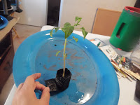 small black growbag containing large tomato seedling