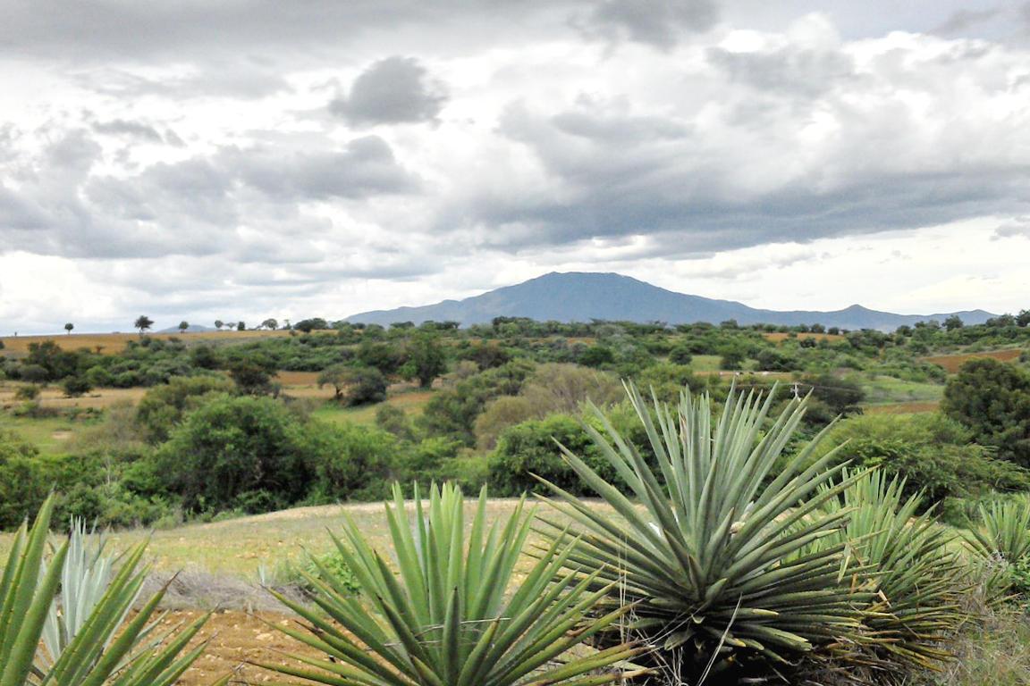 Maguey Madrecuishe en el municipio de La Compañía, Oaxaca.