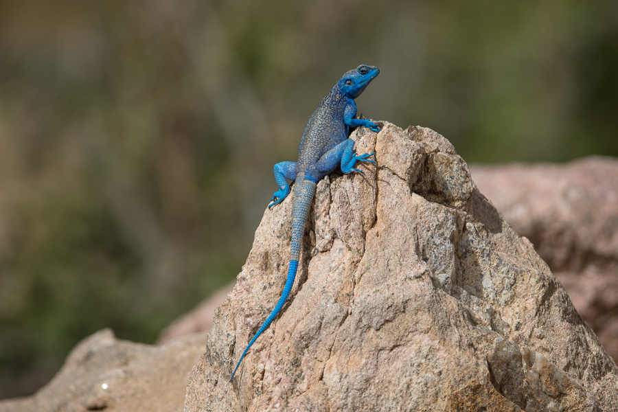 Yemen Rock Agama - Acanthocercus yemensis