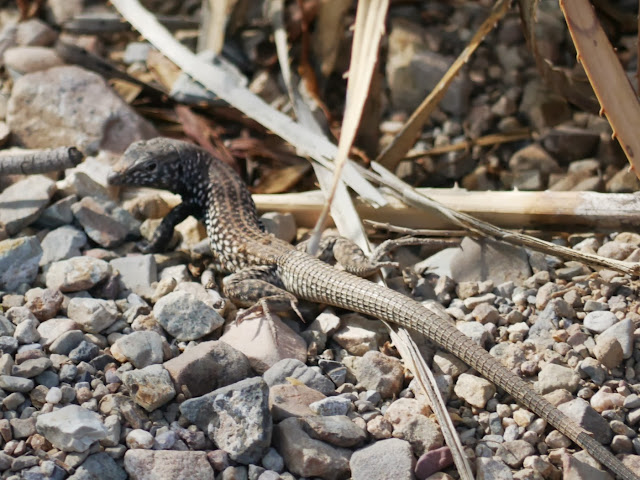 Un western whiptail ou un chihuahuan spotted whiptail