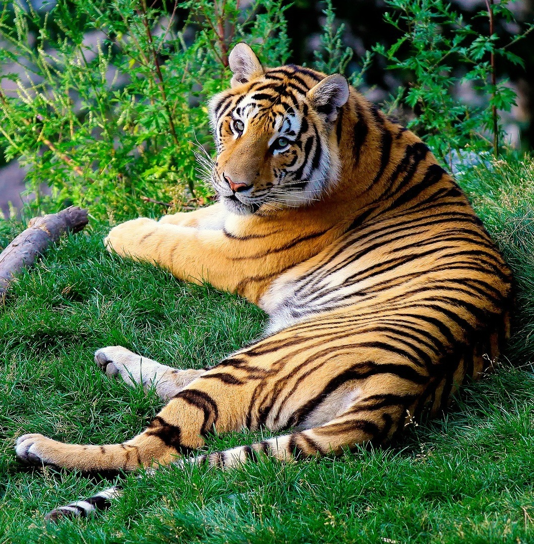Picture of a Bengali tiger.