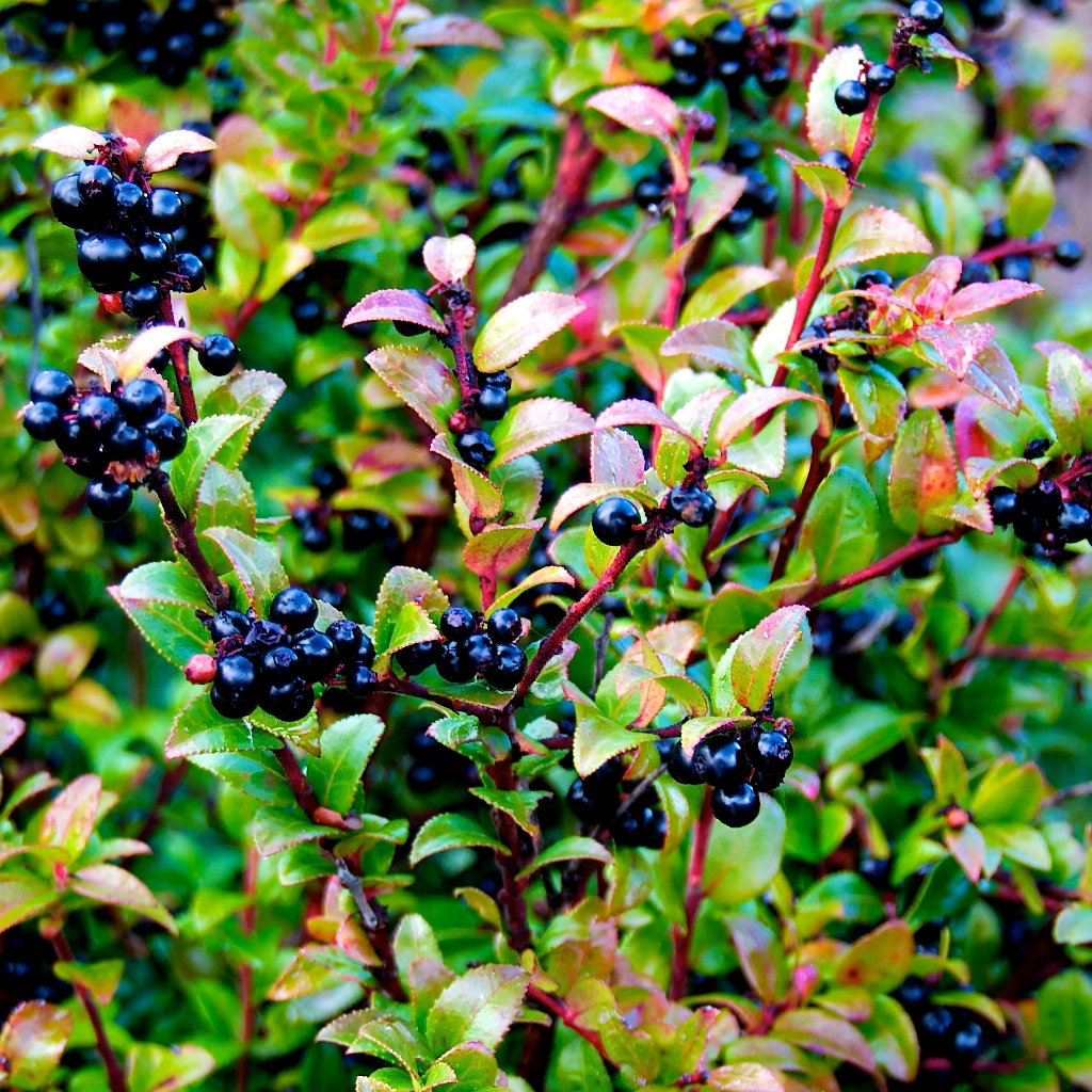 Late Fall Wallpaper Huckleberries Langdon Cook