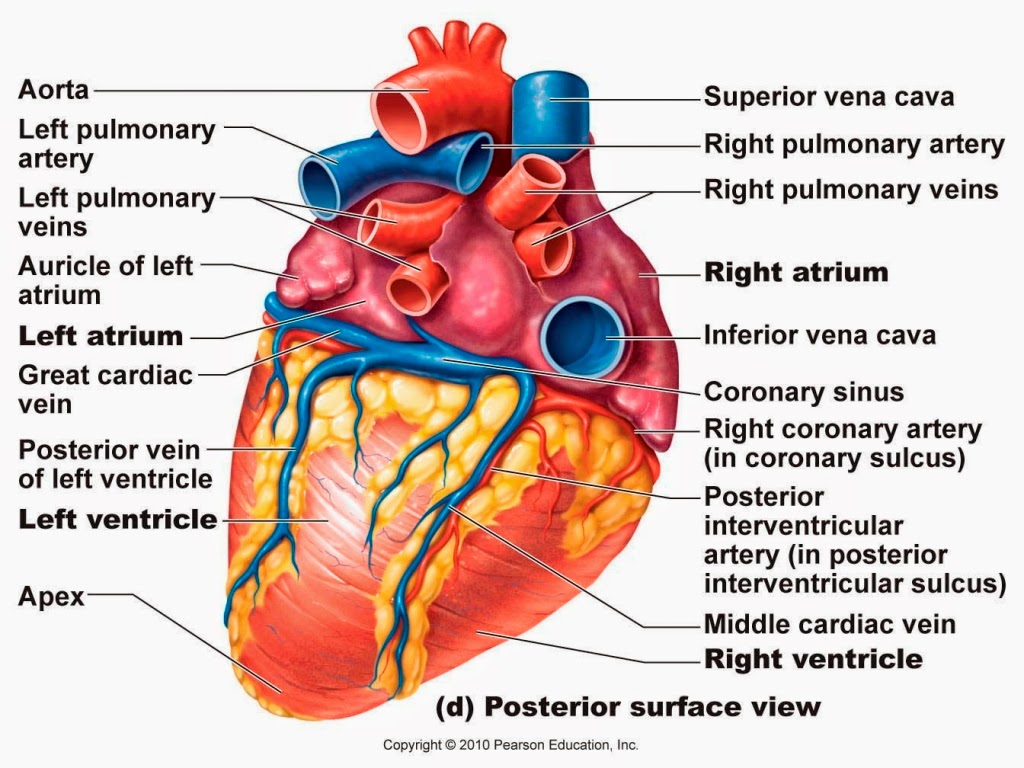 blank heart diagram labeled guitar pickup wiring diagrams seymour duncan label worksheet for kids free engine