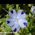 Hoa mắt xanh Five-Spot ( Nemophila maculata,NEM00148)