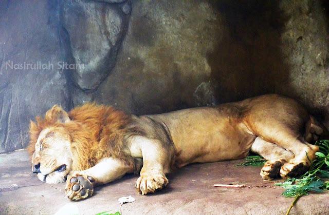 Jangan pernah mengganggu hewan buas ini walau sedang tidur