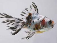 """Jenis Ikan koki Fantail """" Ekor Kipas """" eksotis"""