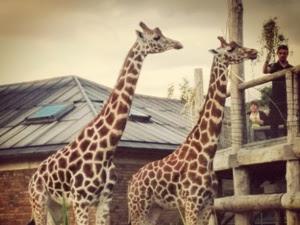 Sunset Safari 2015 at London Zoo