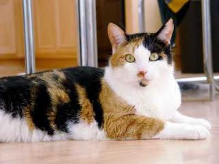 Kelebihan kucing kampung dibandingkan dengan kucing ras