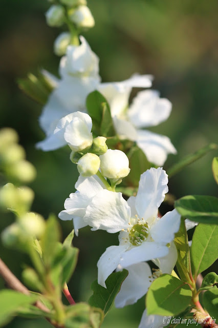 exochorda magical spring time