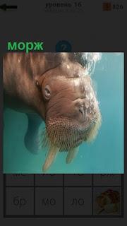 В прозрачной воде плавает морж и видны его клыки