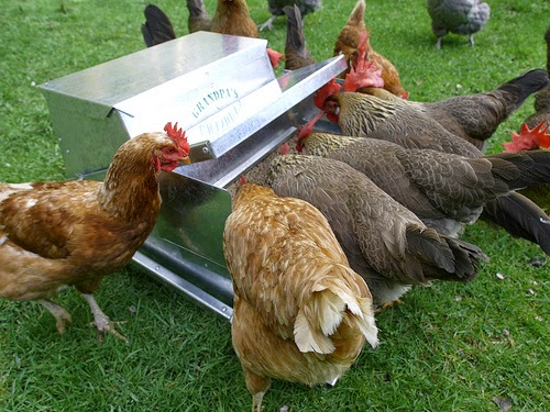 Grandpa's Feeders, chicken feeder, rats eating chicken feed, how to keep rodents out of chicken feed, giveaway,