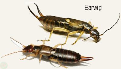 earwig, earwig insect