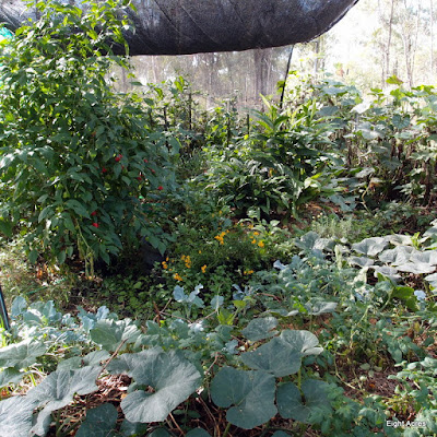 eight acres: growing vegetables in a sub-tropical winter