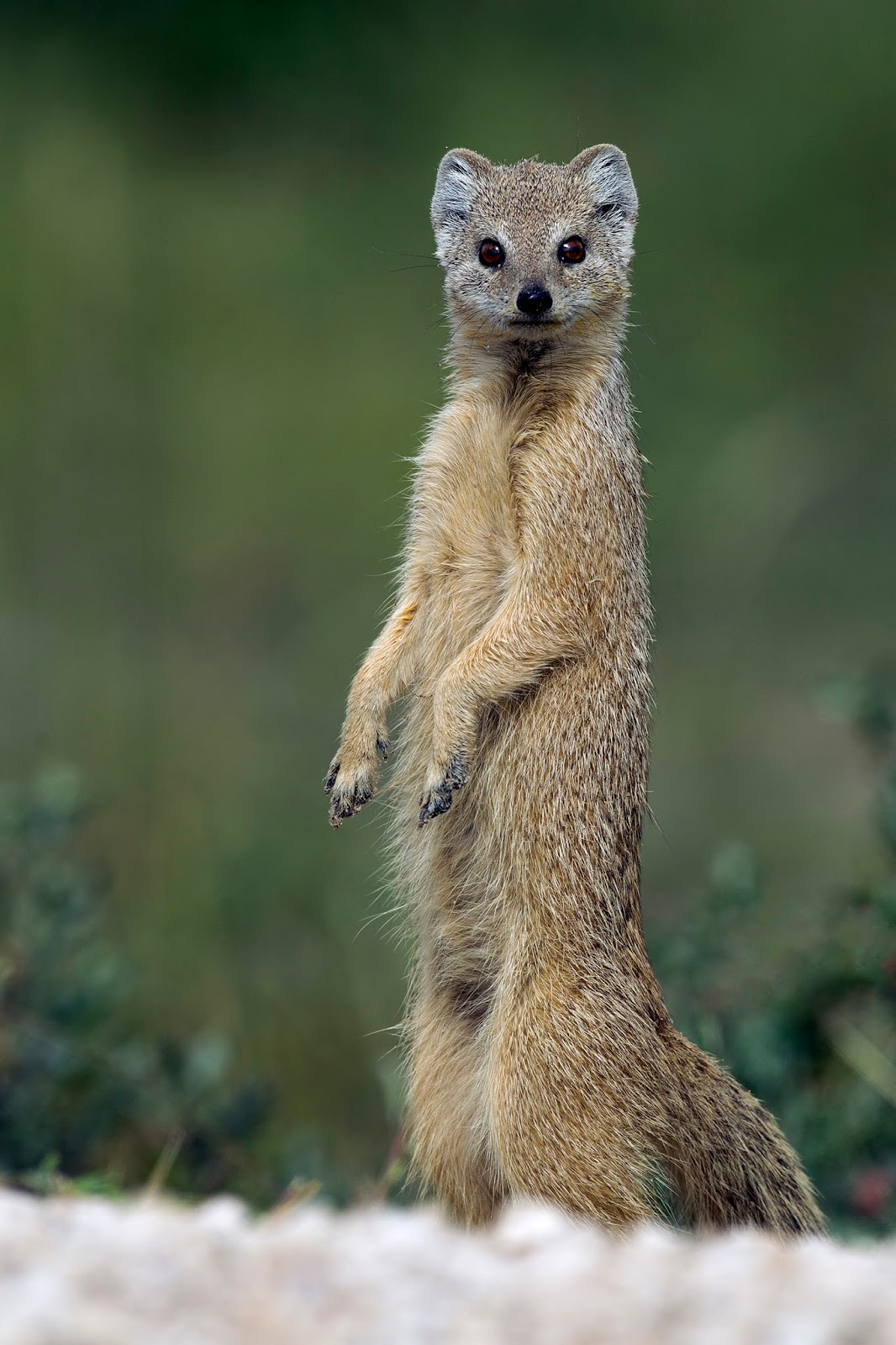 Mammals Animals: Cynictis penicillata