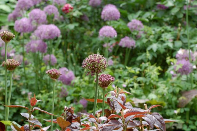 Allium atropureum an Lysmimachia 'Fire cracker'