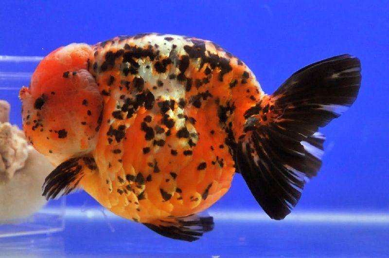 Pembenihan Ikan Mas Koki