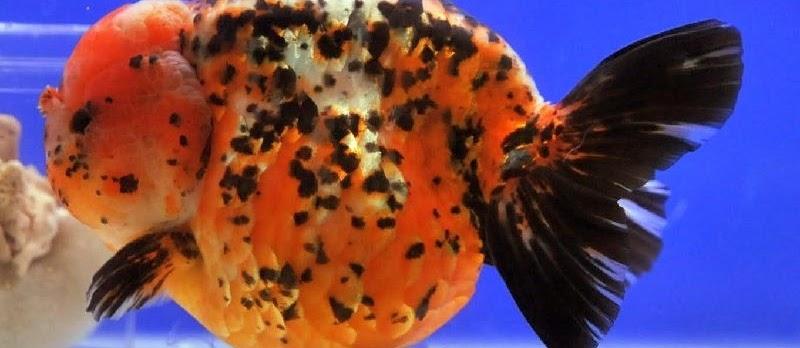 Ini Dia Tips Sukse Pembenihan Ikan Mas Koki