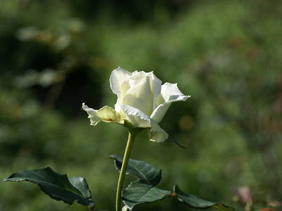 White Rose Normal Resolution HD Wallpaper 7