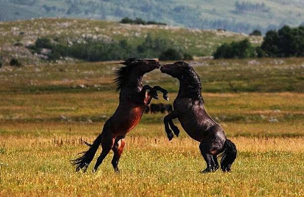 Imagenden de dos caballos peleando furiosos
