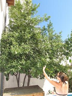 ramasser baies de laurier arbre