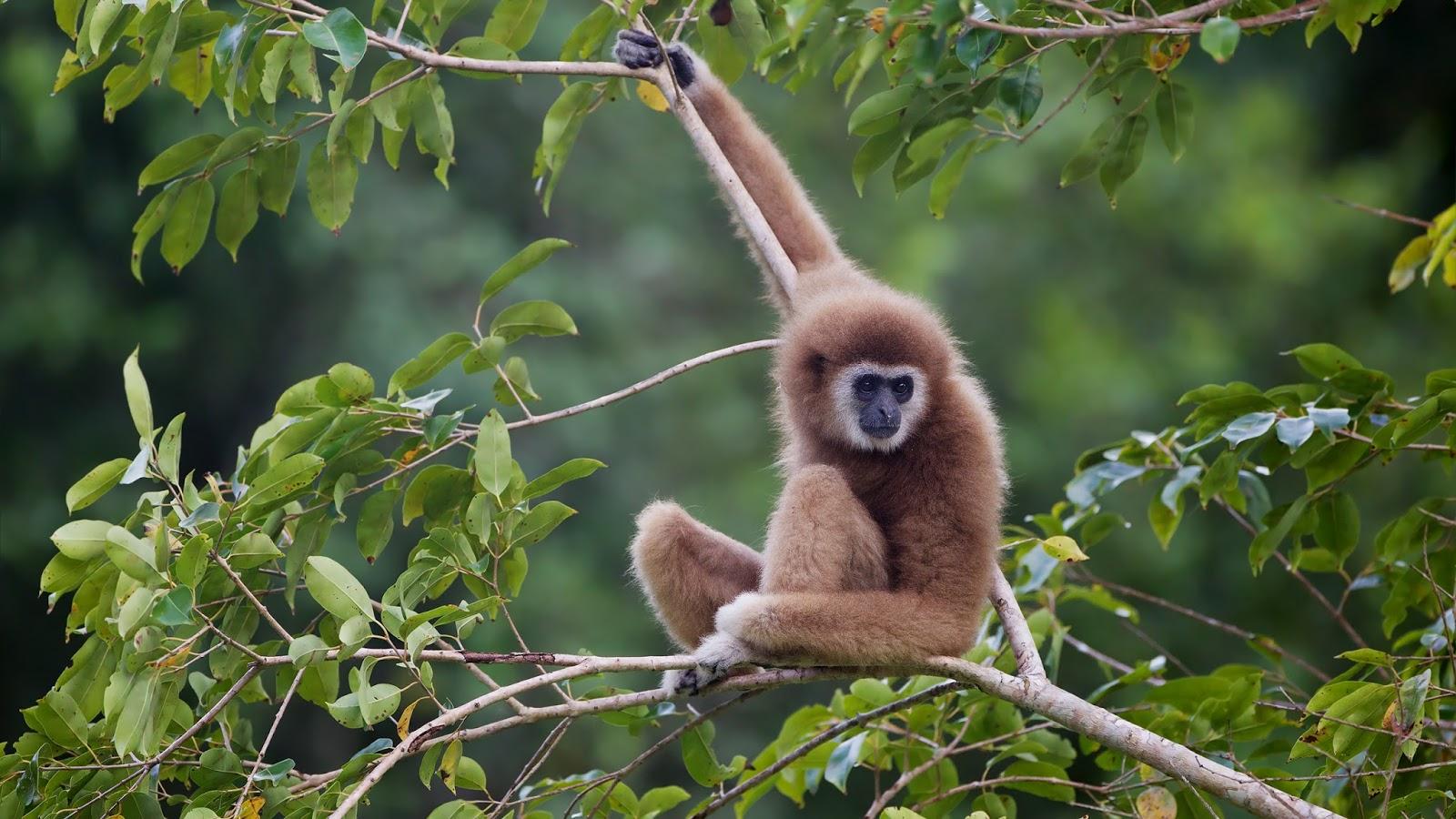 Mammals Animals: Hylobates lar - Kaeng Krachan WB