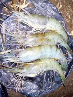 mancing udang galah urang watang lobster air tawar
