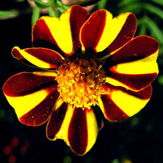 Tagetes patula French Marigold Flower
