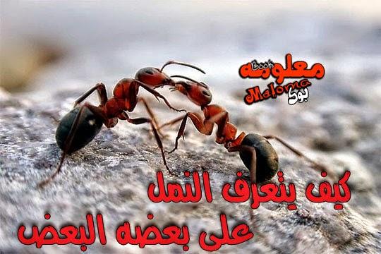 معجزات النمل