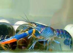 lobster-air-tawar.jpg