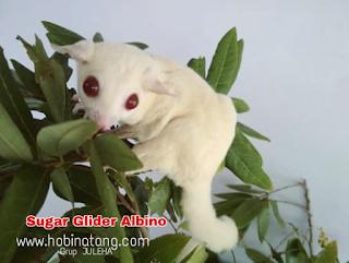 Perbedaan Sugar Glider Albino dan Leucistic