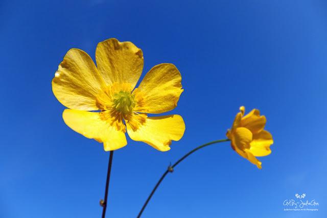 Ranunculus Repens Pollinator Garden