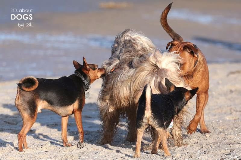 Tibet Terrier Chiru wird am Strand von fremden Hunden begrüsst
