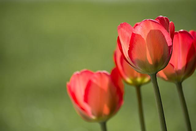 fiori rossi nel verde